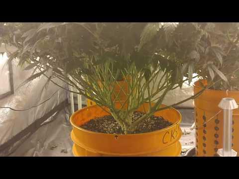 CKS White Widow Fem 4x4 Room Cannabis Grow Journal Day 112/Starting WK 4 Flower ( The Lollipop )