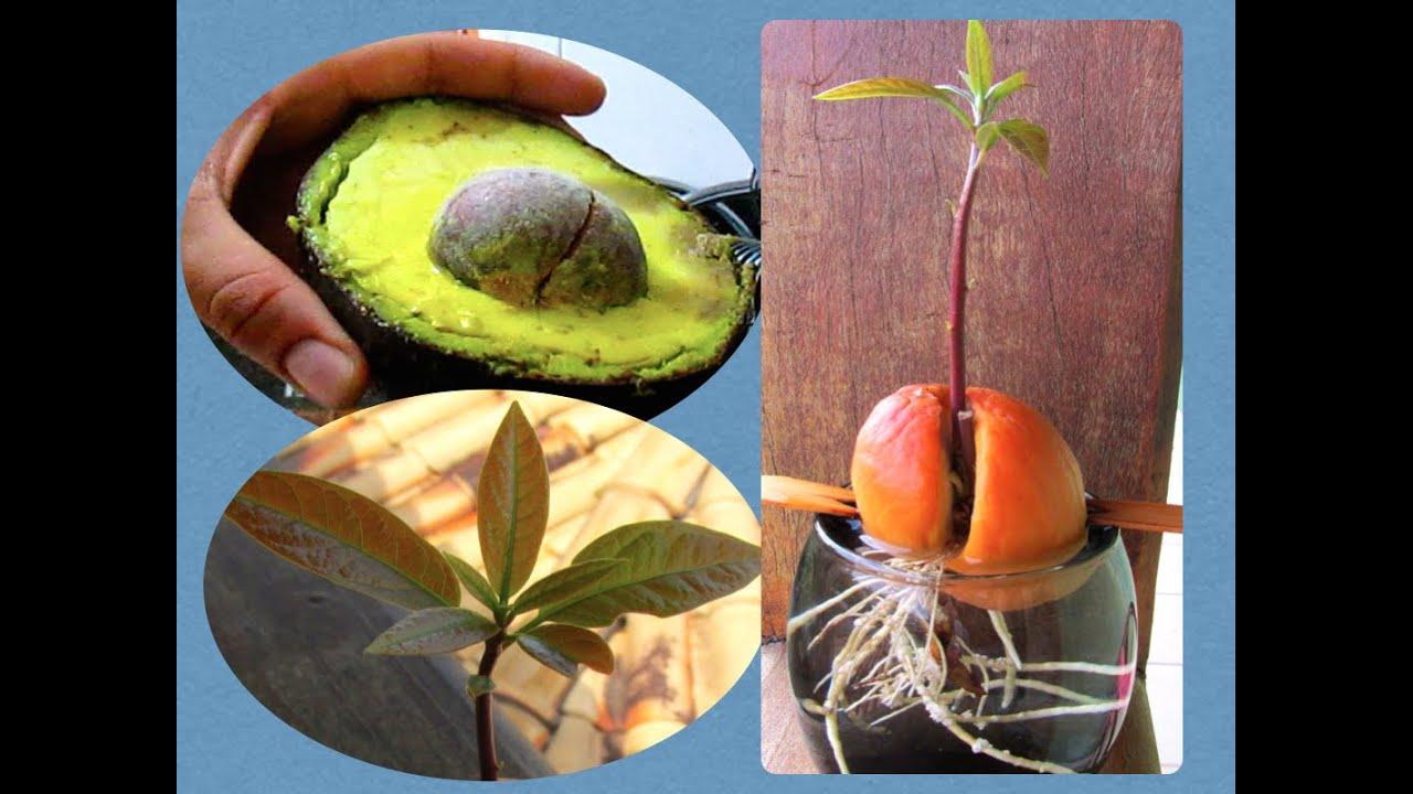 Muito Como Plantar Caroço de Abacate! - YouTube NH22