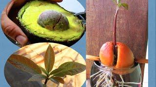 Veja Como Plantar Caroço de Abacate