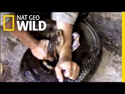 Anaconda Attack!   Explorer