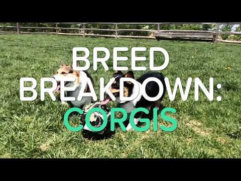 BREED BREAKDOWN: CORGIS