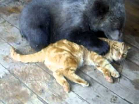 Медведь получает по носу от рыжего кота