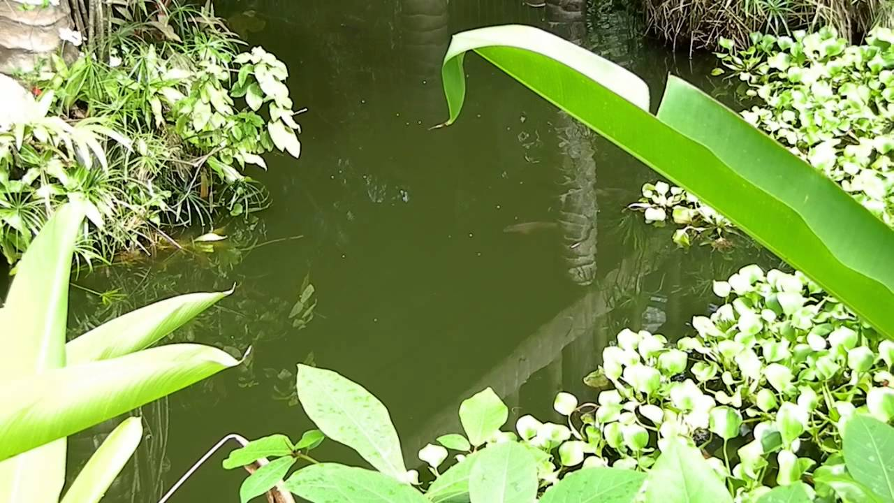 Tilapia and Water Lilies In Pond Philippines - YouTube