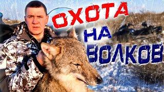 Oхота на волков в Казахстане 2019