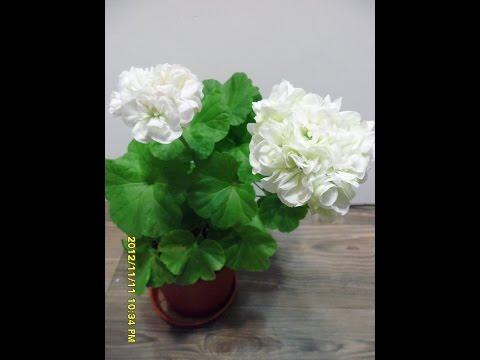 Pelargonium Vit Rosen 1 ( 2012) 로즈버드 비트로젠