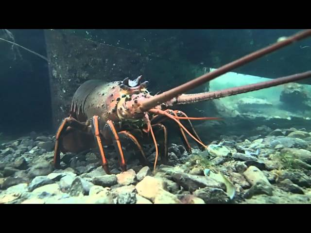 Rock Lobster Channel Islands Harbor California