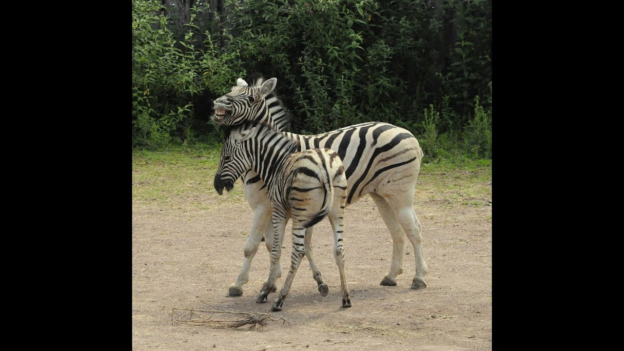 Download KUDA ZEBRA YANG UNIK - Video Slideshow Hewan & Binatang Lucu