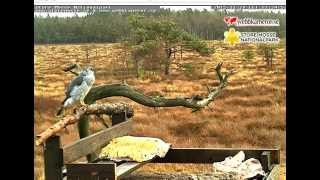 Store Mosse National Park feeding post 11.29.15 1120am Goshawk