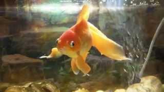 Very beautiful goldfish in an aquarium   Золотая рыбка в аквариуме