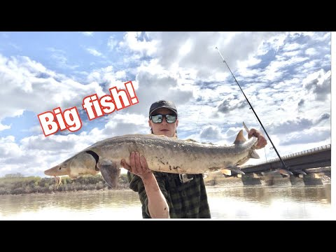 Lake Sturgeon Fishing | North Saskatchewan River