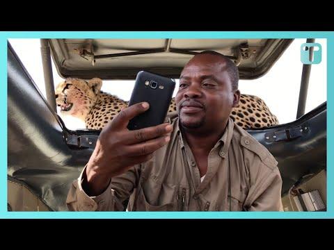 Un guepardo sube a un coche y sorprende a unos turistas en Tanzania