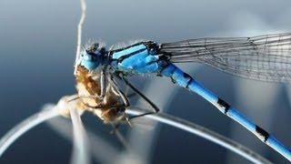 Видео о природе : стрекоза стрелка
