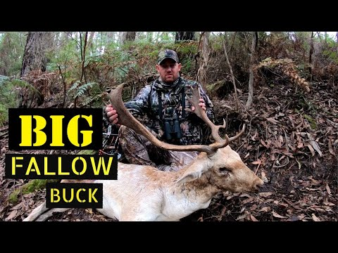 VICTORIA Fallow Deer, Bow Hunting The Rut 2019