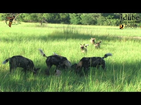 African Painted Dogs Have An Impala For Breakfast