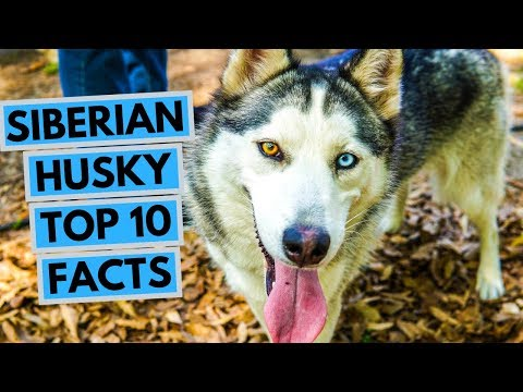 Siberian Husky - TOP 10 Interesting Facts