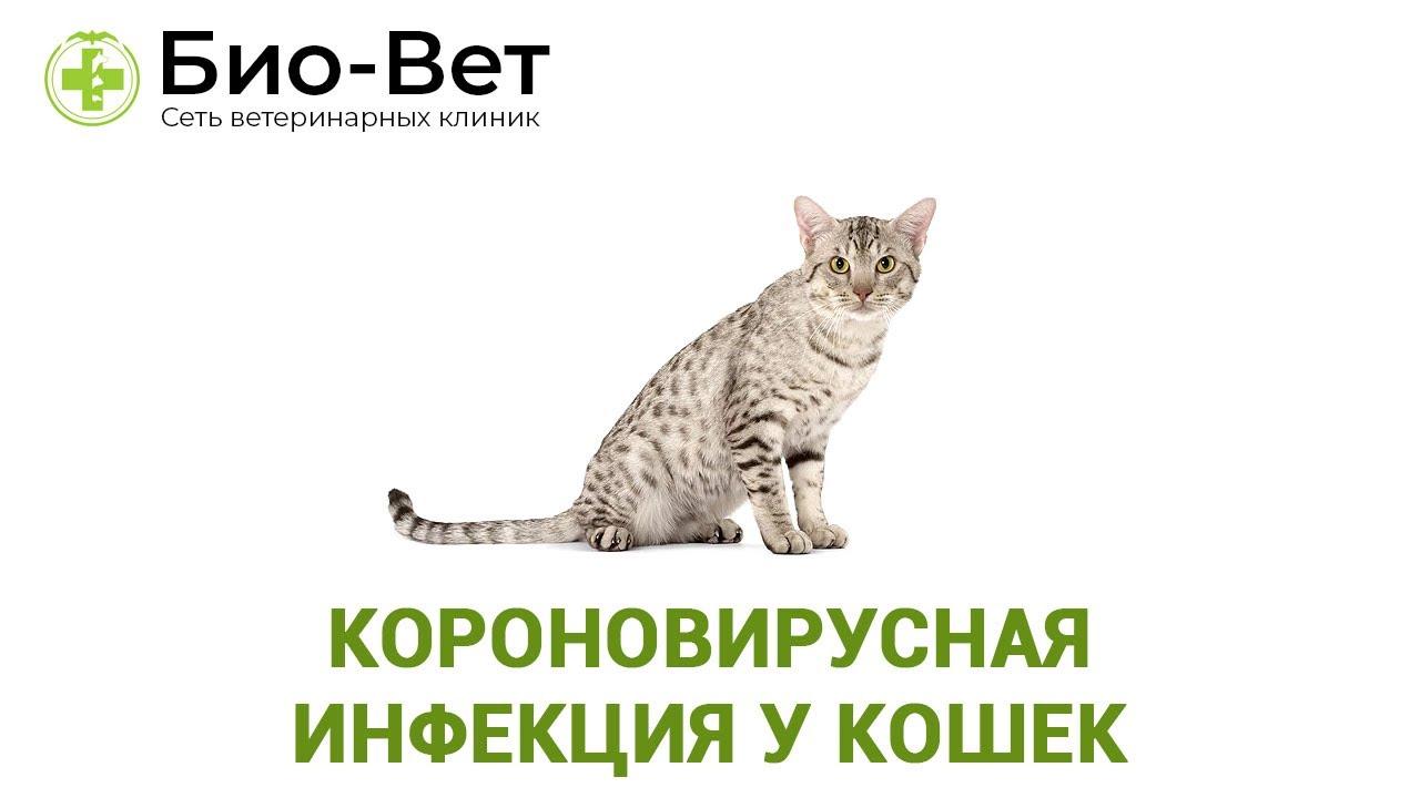 короновирусная инфекция у кошек ветеринарная клиника био вет