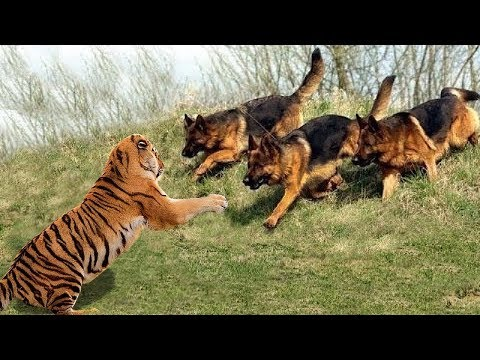 Wild Animals Fights Powerful Tiger vs Big Warthog, Wild Dogs vs Wildebeest Cheetah Buffalo