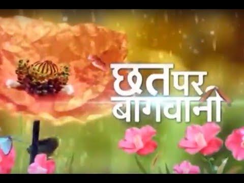 Chatt Par Baghwani - Chrysanthemum special