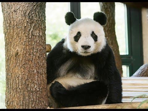 Panda-Männchen Yuan Yuan ist da! I Tiergarten Schönbrunn