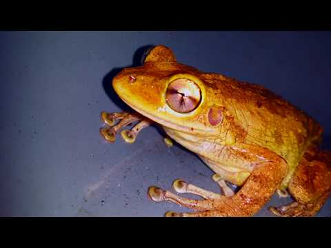 Cuban Tree Frog 4K UHD - Sounds From That Same, Wet, Rainy,  Florida Night
