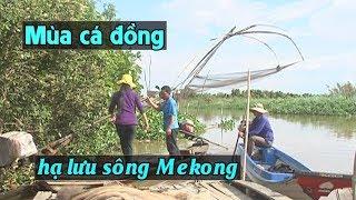 Mùa cá đồng ở hạ lưu sông Mekong, Việt Nam