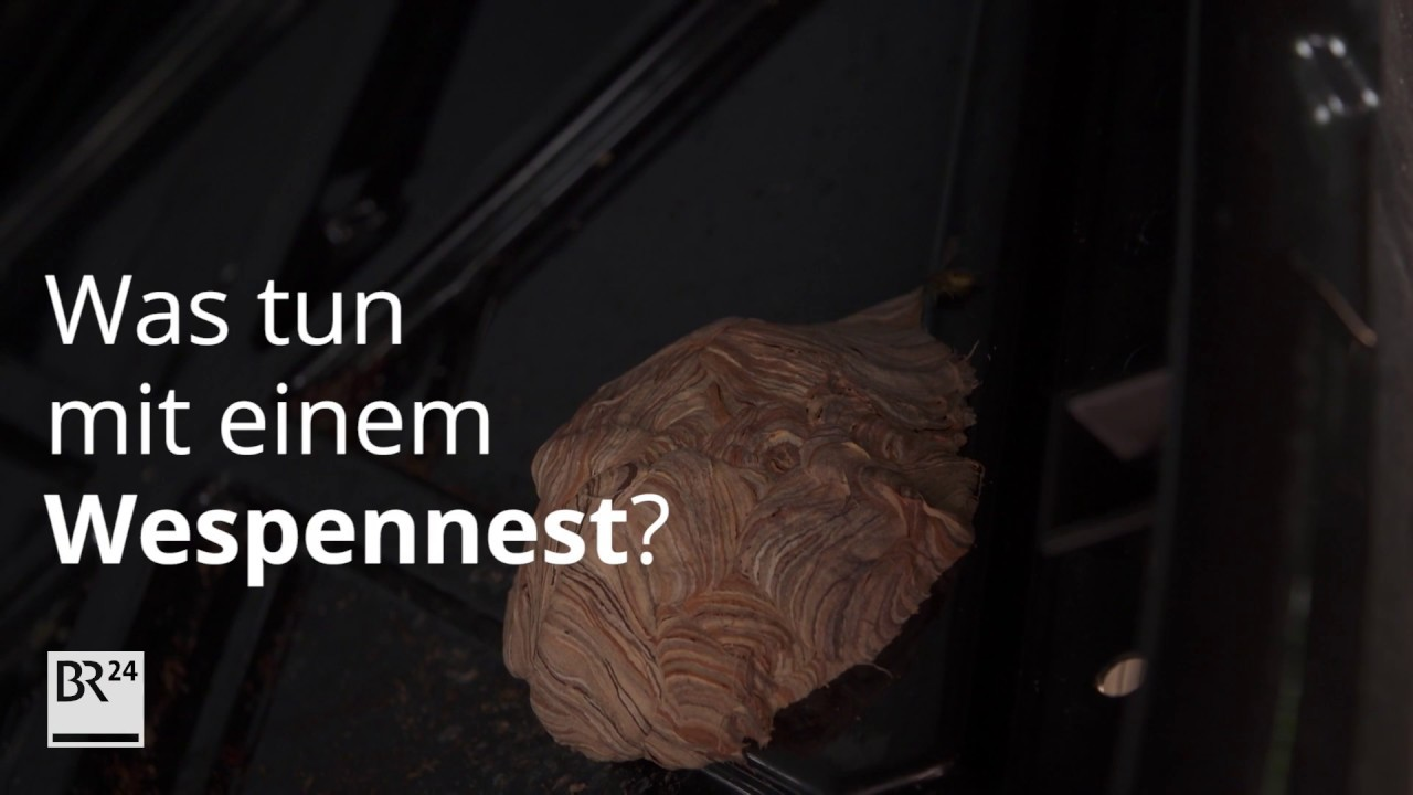 Wespennest Was Tun Was Tun Mit Einem Wespennest? | Br24 - Youtube