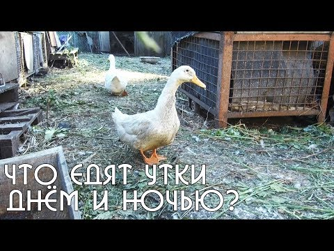 Что едят утки в деревне | Корм для уток трава и черви