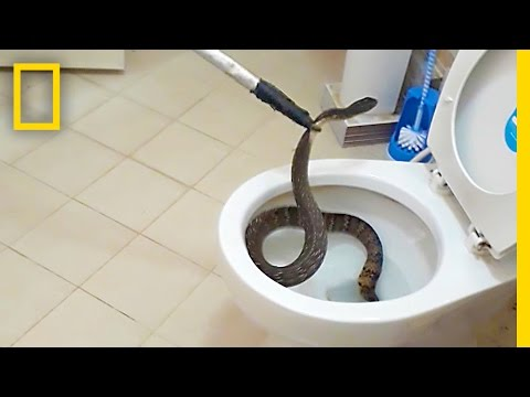 Thumbnail: This Snake in a Toilet is a Bathroom Nightmare Come True | National Geographic