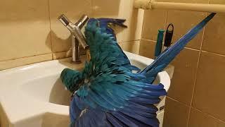 Попугай ара купается