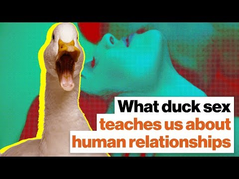 What duck sex teaches us about humans, incels, and feminists | Richard Prum