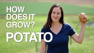 How Does it Grow? Potatoes