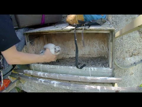 Chick removed for banding, nestbox cleaned out. Great Spirit Bluff Falcons. 28 May 2017