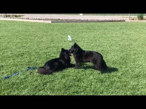 Belgian Shepherd Playdate! // Chewie The Groenendael