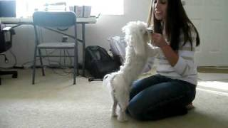 Romeo the Maltese doing his tricks