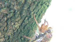 脱皮準備に入ったセミの幼虫に、蟻たちの攻撃が始まった。