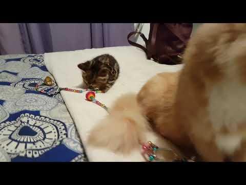 Siberian kitten Hypoallergenic kittens