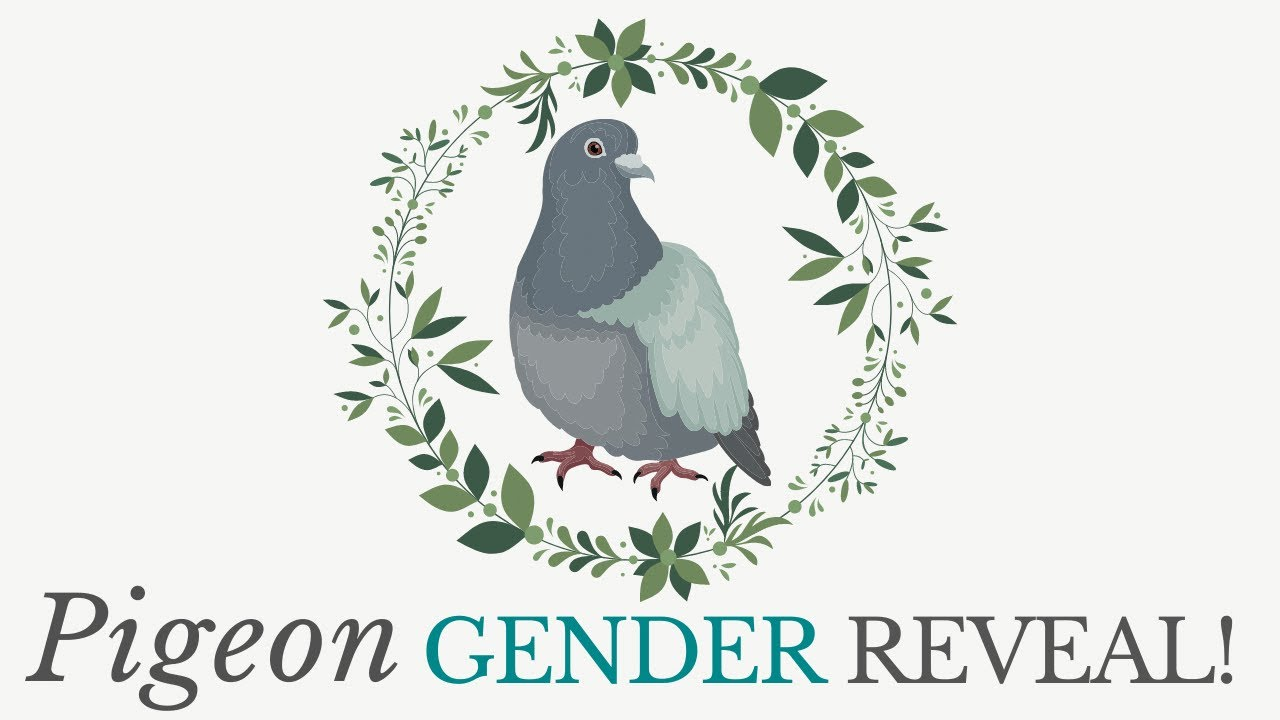 Pigeon Gender Reveal
