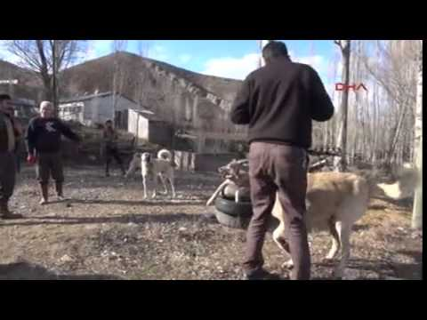 Şehre inen kurdu kangal köpeği boğdu
