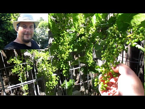 Grape Bunch Pruning To Produce Large Full Clusters