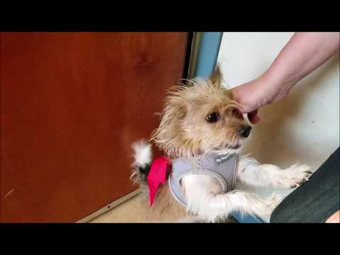 Mr. Muggles, a male Yorkshire Terrier/ Cairn Terrier mix at Muttville