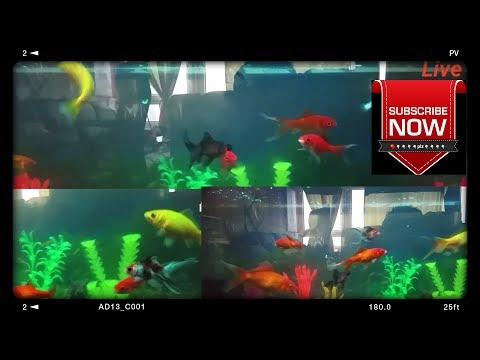 🔴support live fish tank or fish aquarium live fish cam welcome friends  relaxing and support my fish