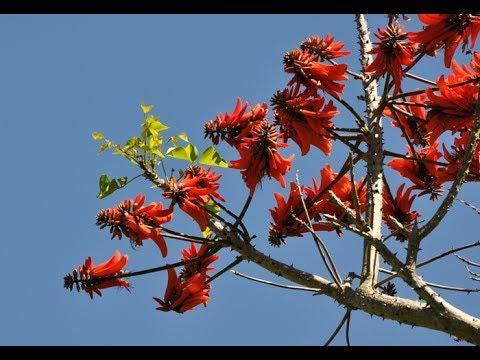 Erythrina, Coral Tree. Unusual Bonsai