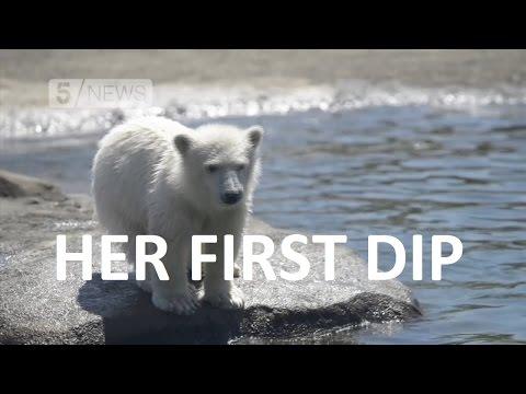 Polar bear's first swimming lesson