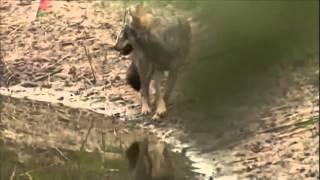 Радиоактивные волки Чернобыля (фрагмент)(, 2015-11-10T06:56:44.000Z)