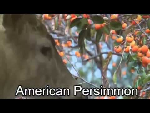 Wildlife American Persimmon Tree