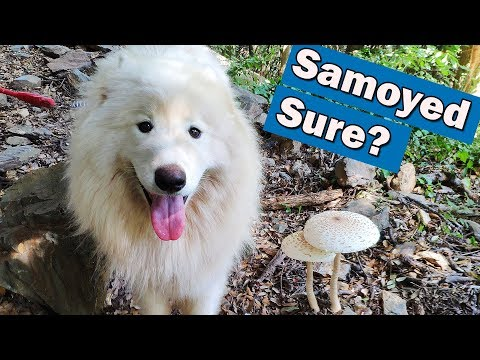 Don't adopt a Samoyed dog before watching this video. Challenging! 🐶