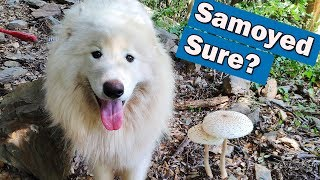 Don't adopt a Samoyed dog before watching this video. Challenging!