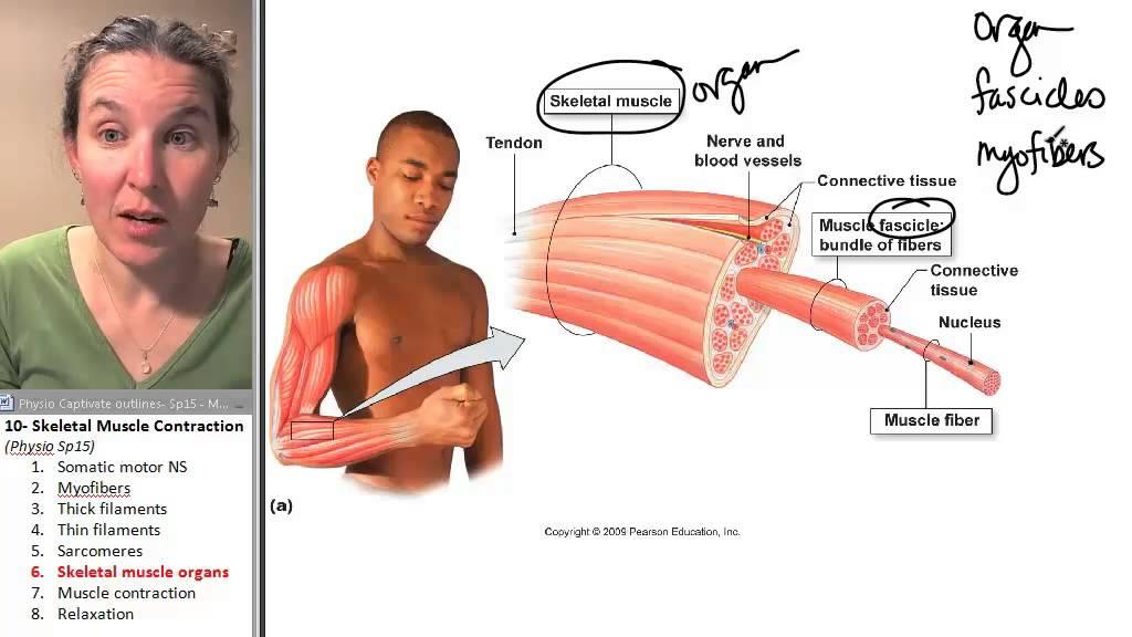 Yoga Physiology: The Stretch-Reflex. - Unlock Your Body.