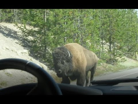 Bison Running Down Road in Yellowstone! Vlog 3