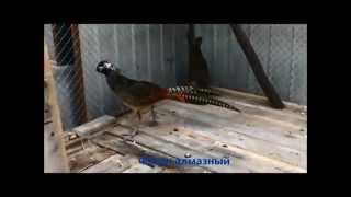 Выращивание фазанов в домашних условиях(Выращивание фазанов, пример как организовать бизнес на выращивании фазанов (http://pilotbiz.ru/?p=1434) в домашних..., 2015-01-24T20:54:54.000Z)